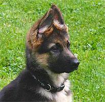 Welpen und Junghundekurse in der Hundeschule des Schäferhundevereins Ortsgruppe Heidelberg