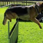 Hundesport - Finn springt